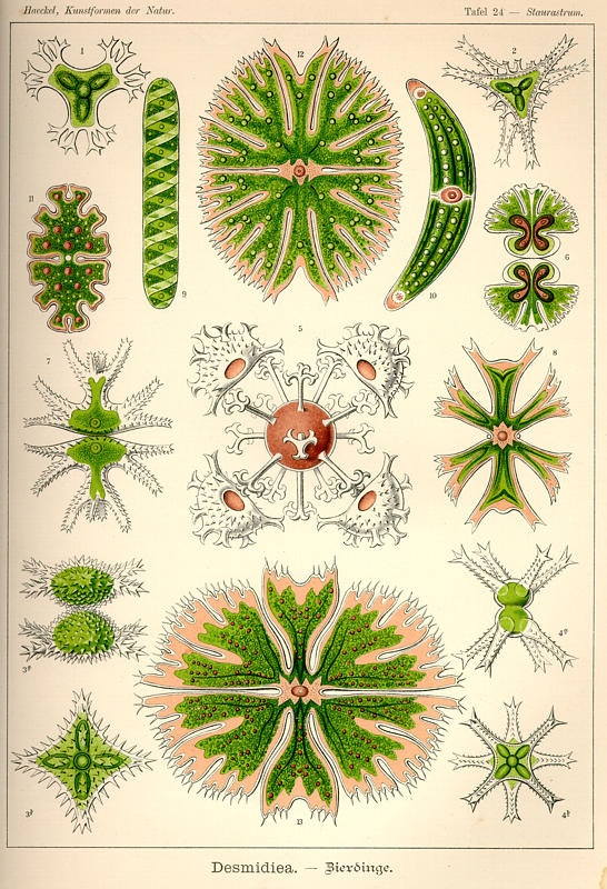 Ernst Haeckel и его великолепные рисунки (109 фото)