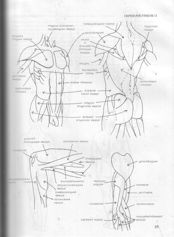 Рисунок Человеческое тело. Анатомия, морфологи (112 работ)