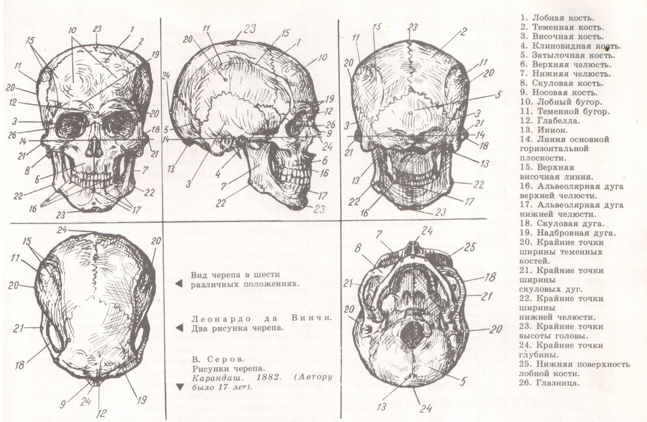 каждый может строение черепа человека фото с описанием состоит двух изолированных