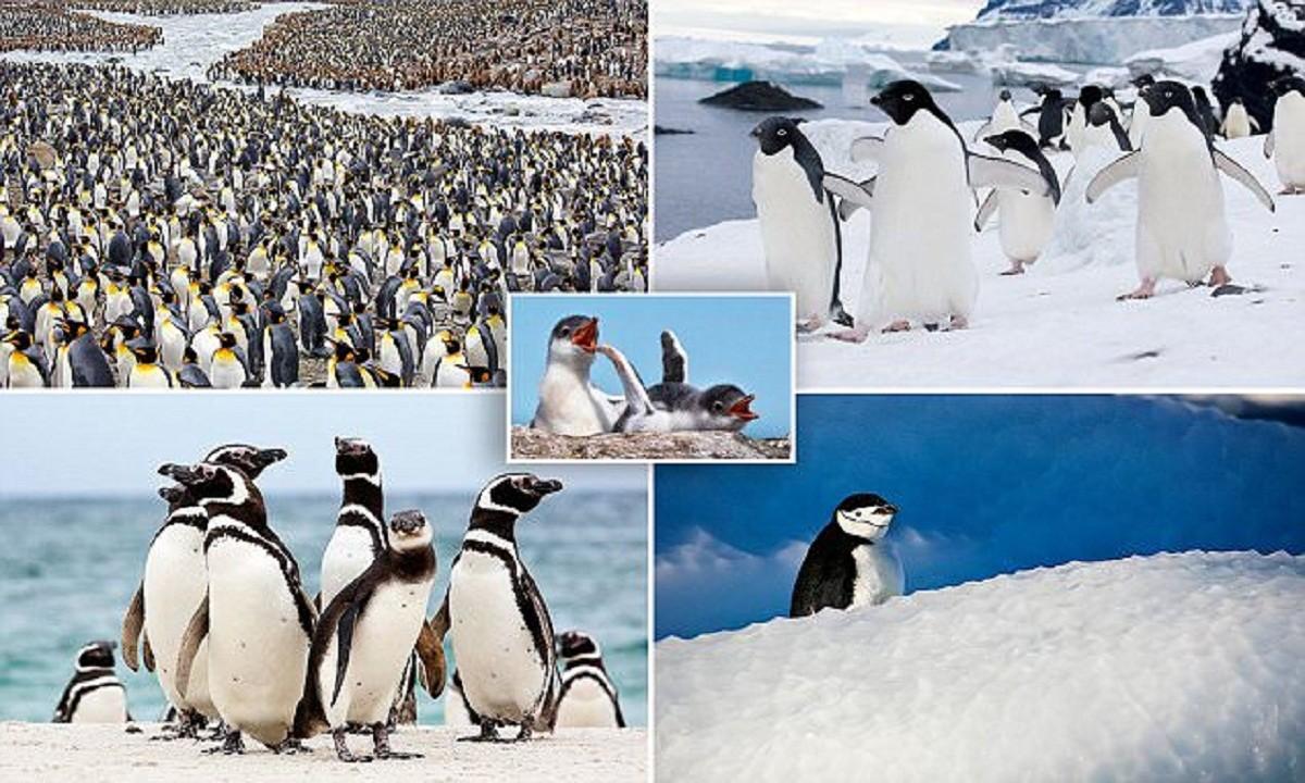 Невероятно очаровательные пингвины от фотографа, влюбленного в Антарктику (18фото)