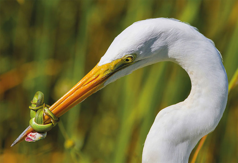 25 лучших фотографий птиц с конкурса Bird Photographer of the Year 2017 (25фото)