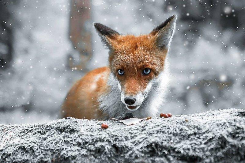 «Дикие земли Финляндии»: сновидческие портреты животных от Иоахима Мунтера (40фото)
