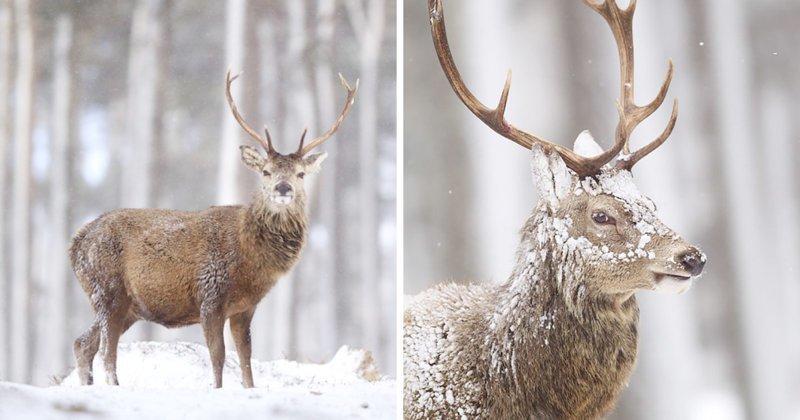Величественные олени Шотландии в объективе Джона Беттса (27фото)