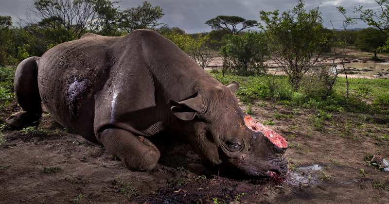 Душераздирающий снимок убитого носорога стал победителем Wildlife Photographer of the Year 2017 (45фото)