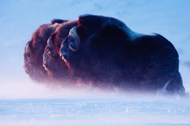 Дикие животные и природа на снимках Флориана Шульца (24фото)