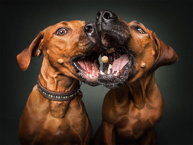 Забавные эмоции собак, которые ловят лакомства (19фото)
