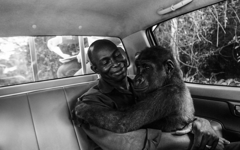 Фотография гориллы, обнимающей своего спасителя, стала победителем Wildlife Photographer of the Year (23фото)