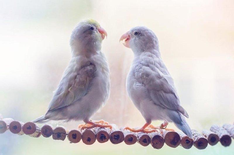 Фото влюбленных пастельных попугаев, которые растопят ваше сердечко (24фото)