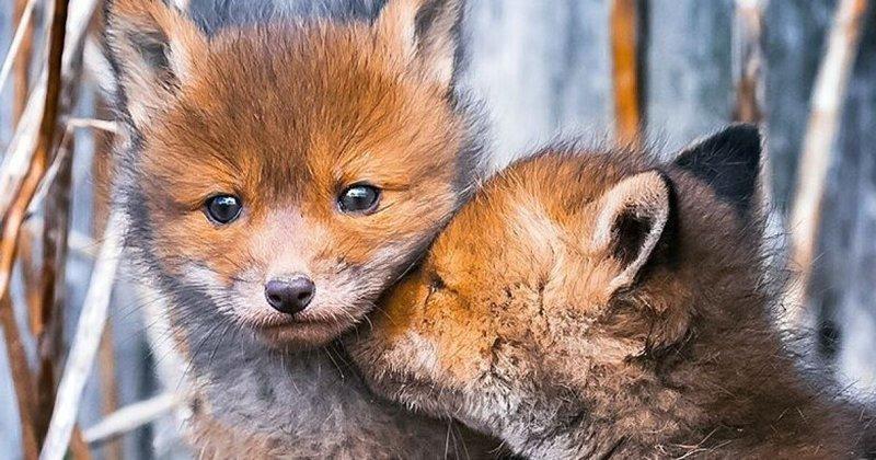 Лисицы из Финляндии: лесная сказка (38фото)