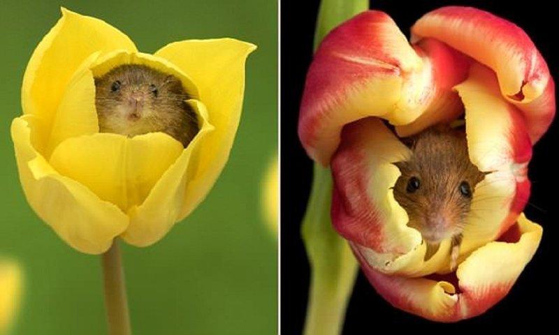 Мимимиметр зашкаливает! Мыши-малютки играют среди цветов (6фото)