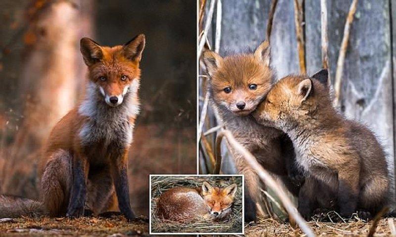Финский фотограф рассказал, как ему удалось завоевать доверие лисиц (16фото)