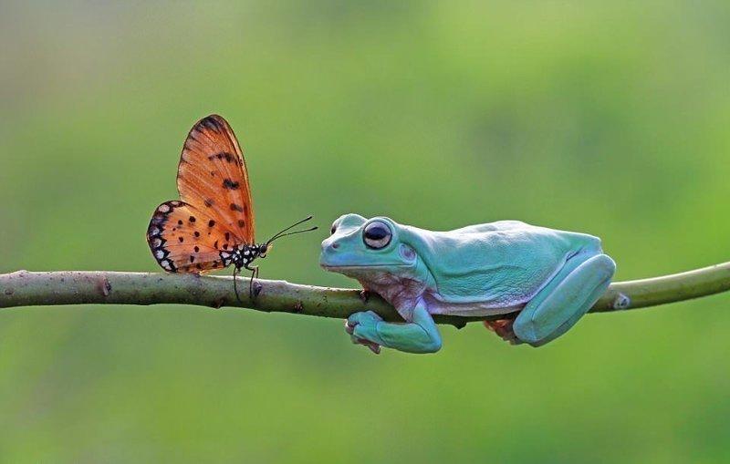 Может, превратится в принца? Фотограф запечатлел, как бабочка поцеловала лягушку (5фото)