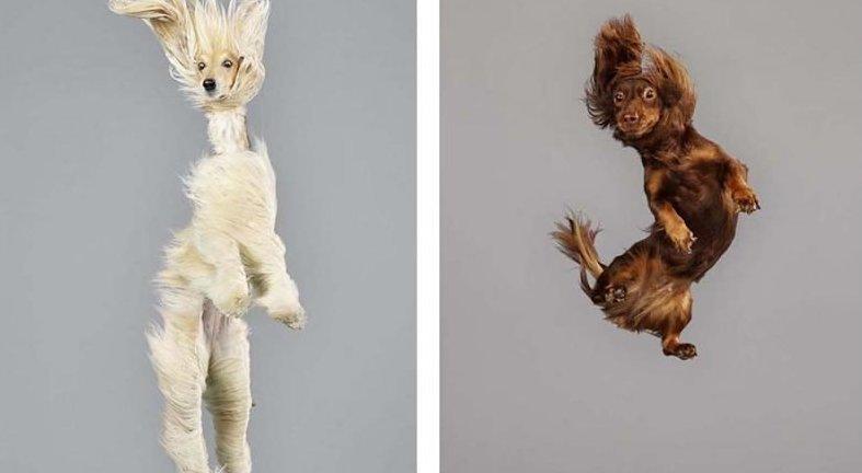 Для создания своих забавных портретов, фотограф заставляет собак немного «полетать» (21фото)