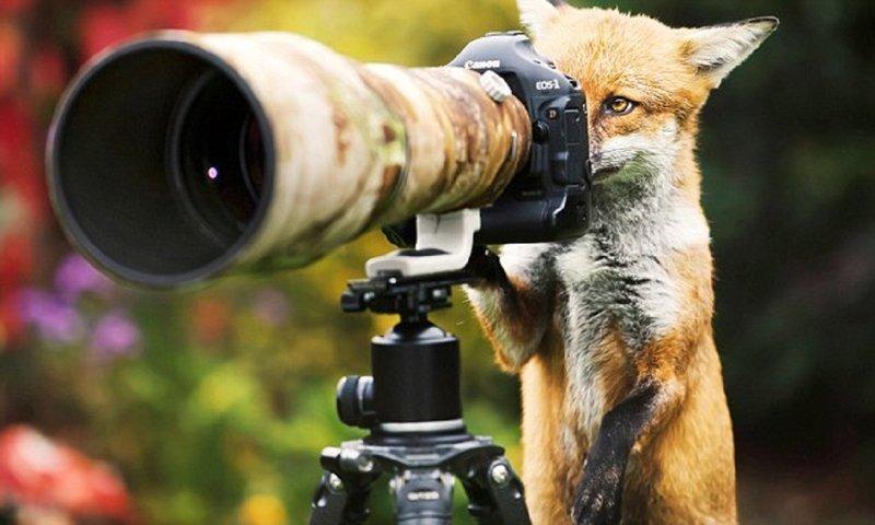 Фотограф и лис поменялись местами перед объективом (7фото)