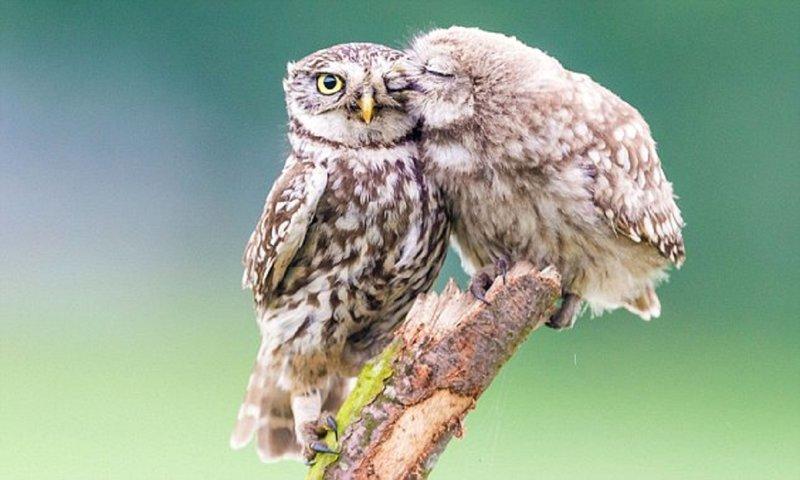 Нежности совячьи: как совенок благодарит маму за заботу (3фото)