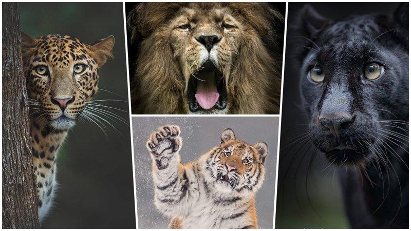 Шикарные портреты больших кошек, которые никого не оставят равнодушным (34фото)