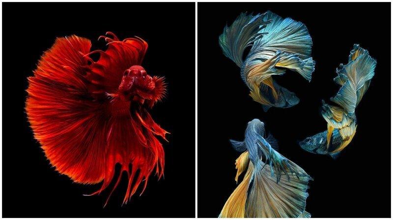 Этот тайский фотограф снимает аквариумных рыбок круче всех (33фото)