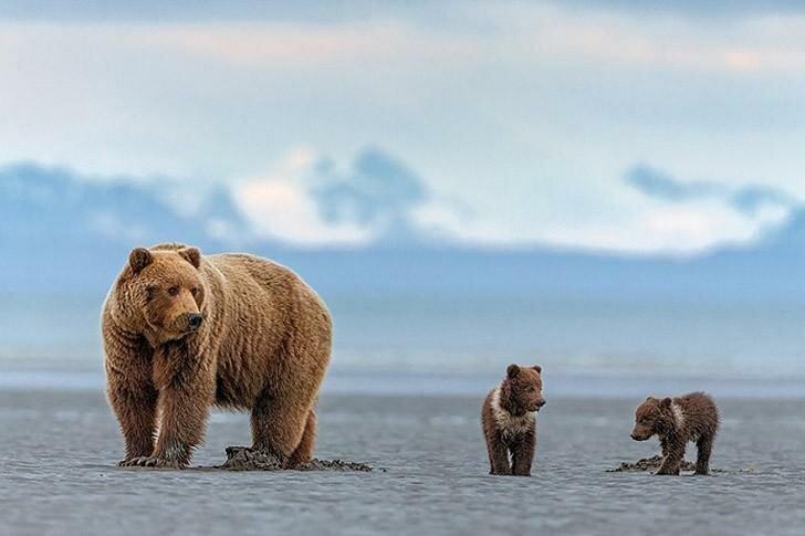 Бурые медведи Аляски через объектив фотографа Инго Арндта (11фото)