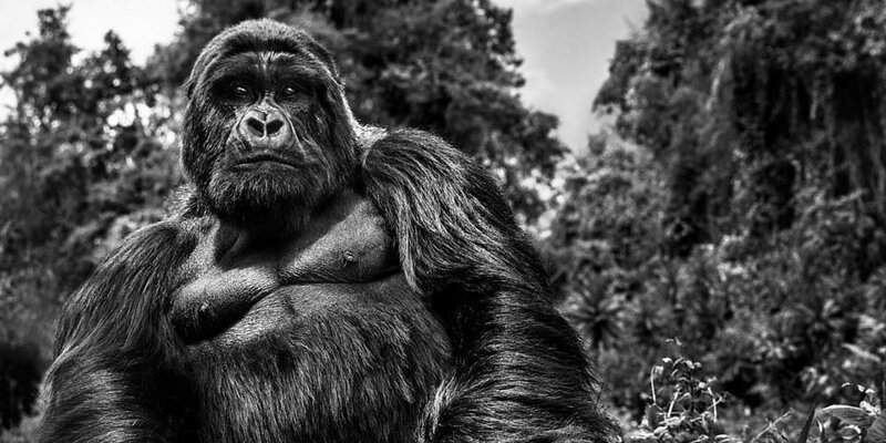 Этот потрясающий снимок альфа-самца горной гориллы — результат 10-летней работы фотографа (4фото)