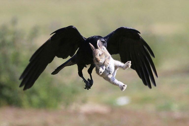 Драматическая фотоистория спасения крольчонка от вороны (19фото)