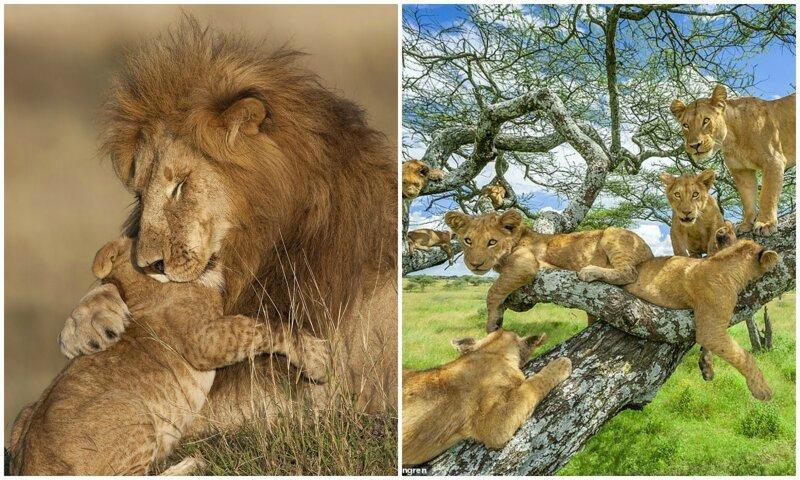 Цари зверей: 10 фотографий львов, признанные лучшими (12фото)