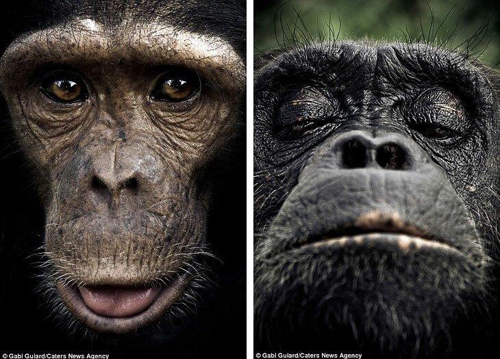 Эмоции обезьян в фотографиях (6фото)