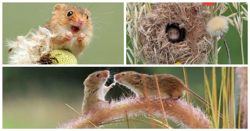 Приключения мышей-малюток, обладающих потрясающими акробатическими навыками (18фото)