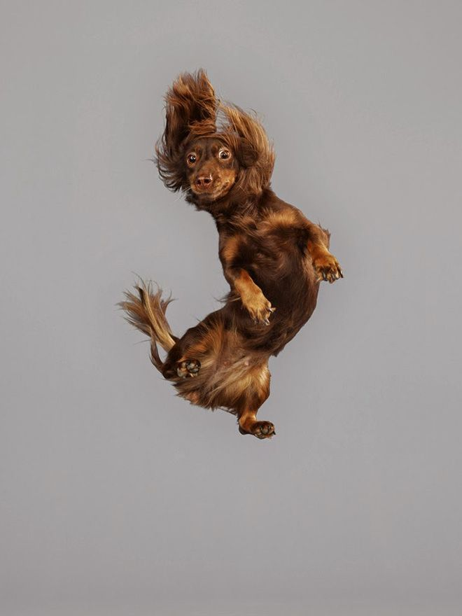 Собакам пришлось прыгать на батуте ради