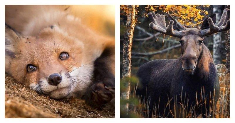 Фотограф показывает, насколько свободно чувствуют себя животные в диких лесах Финляндии (37фото)