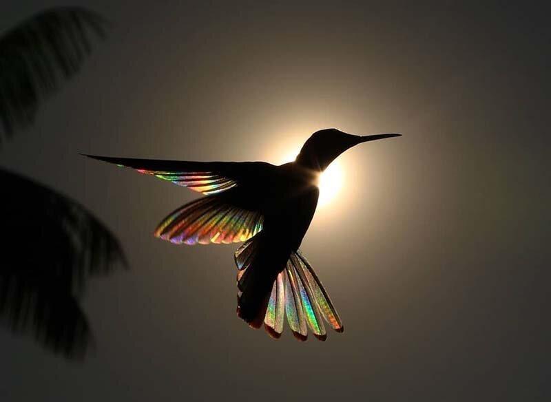 Фотографу удалось запечатлеть, как природное явление сделало похожим крылья колибри на крошечные радуги (7фото)