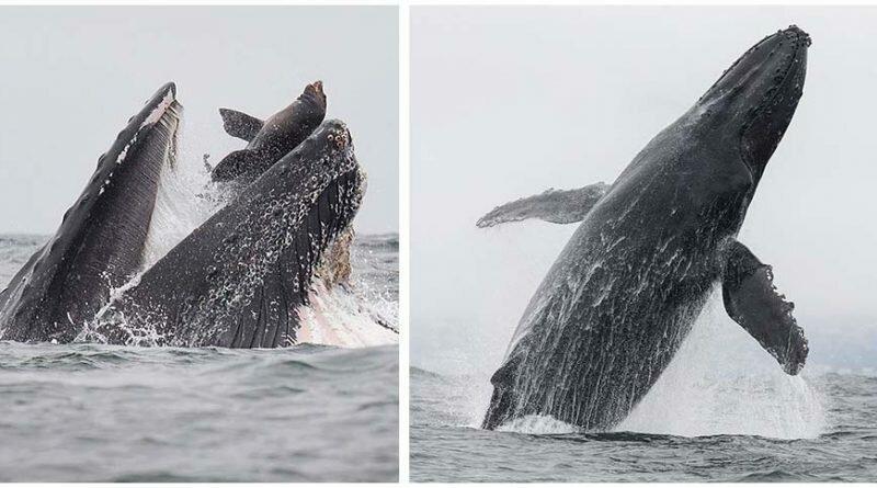 Уникальный момент, когда кит едва не проглатывает морского льва (6фото)