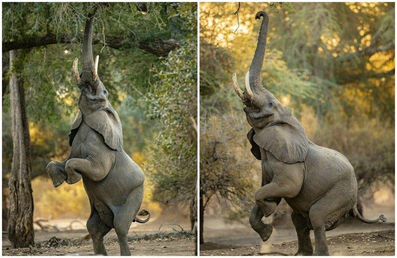 Слоновья акробатика: чего только не сделаешь ради вкусняшки (10фото)