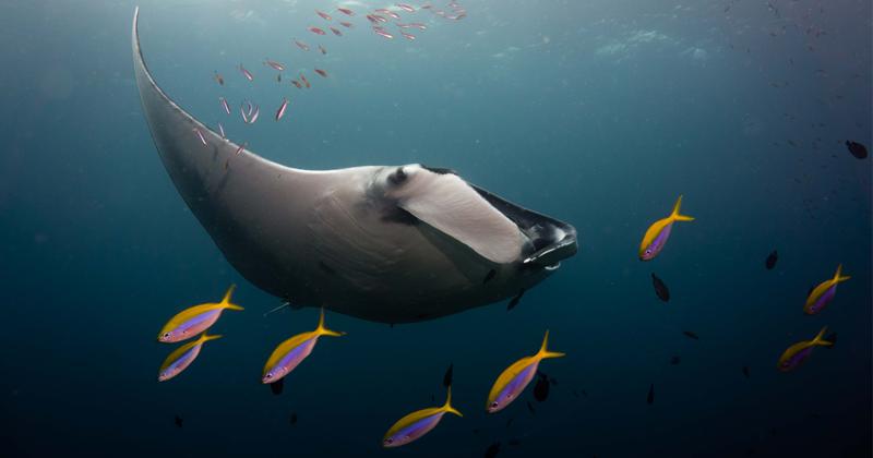 Двухчасовой дайвинг с гигантскими морскими дьяволами (21фото)