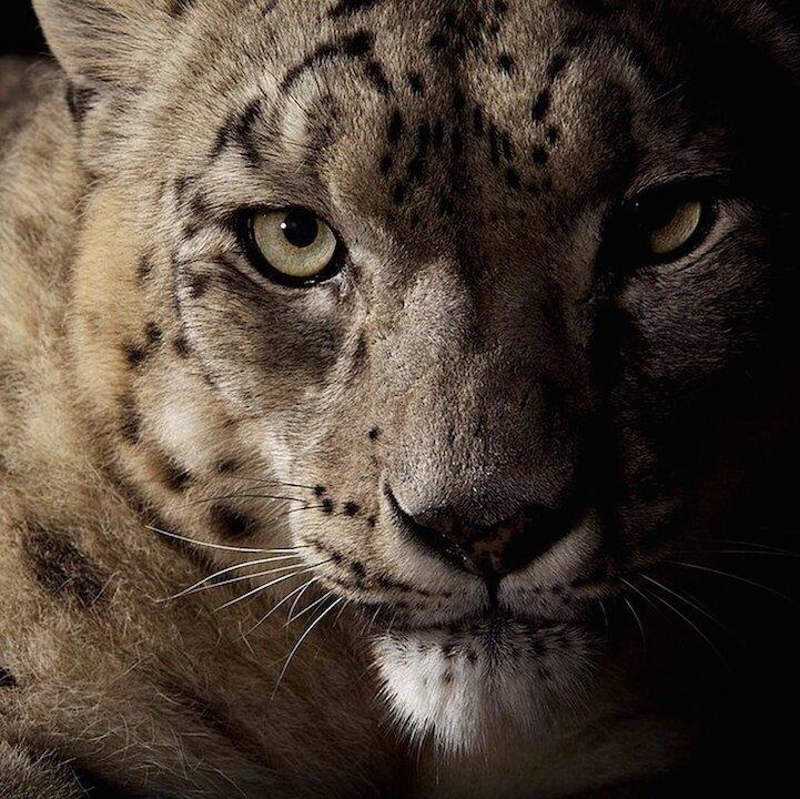 Красота больших кошек в снимках фотографа National Geographic (7фото)