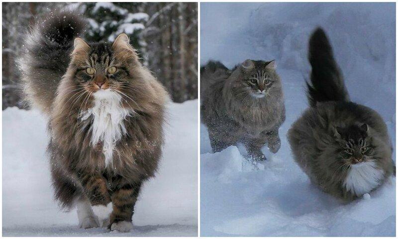 Крутость зашкаливает: финка показала своих шикарных северных котов (31фото)