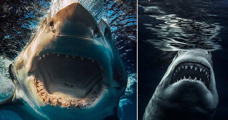Фотоохота на акул: потрясающие снимки самого опасного хищника океана (15фото+1видео)