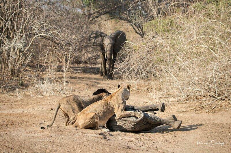 Храбрая слониха защитила своего детеныша от голодных львиц (11фото)