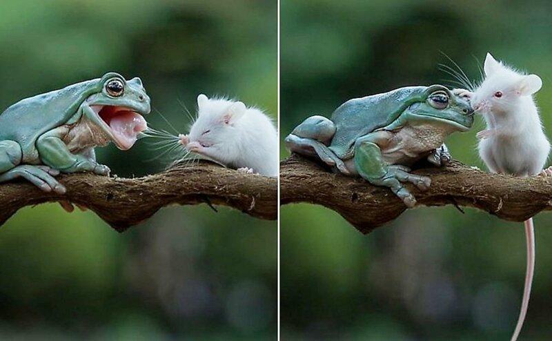 Необычные друзья: Крошечный грызун целует лягушку (6фото)