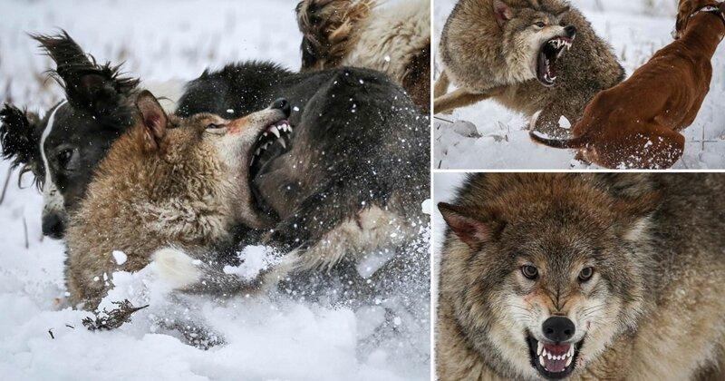 Впечатляющие фотографии ожесточенной схватки волка с охотничьими собаками в Казахстане (5фото)
