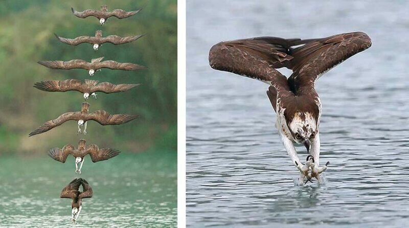 Невероятные снимки скоп во время охоты (17фото)