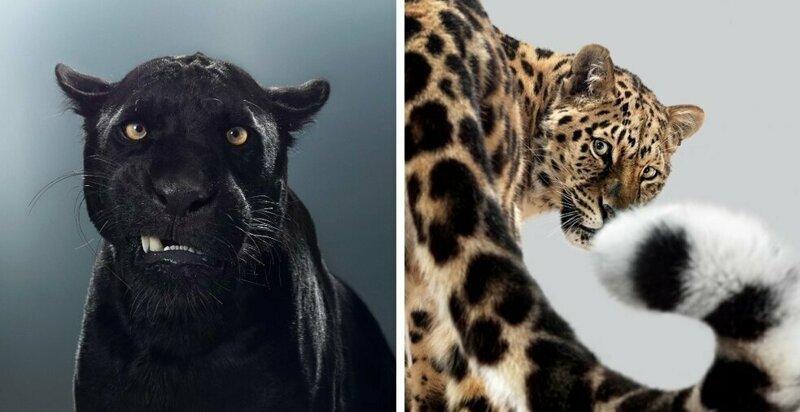 Британский фотограф год снимал портреты больших кошек (15фото)
