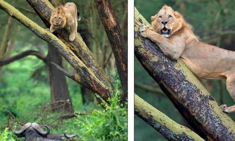 Льву прошлось отсиживаться на дереве от стада буйволов (7фото)
