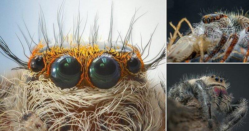 Макромир: паук-скакунчик крупным планом (10фото)