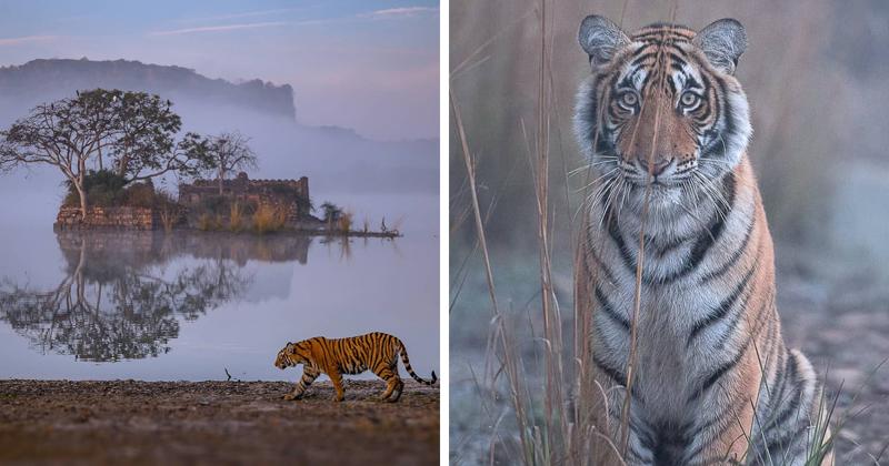 Фотограф показал зрителям душу тигра (11фото)