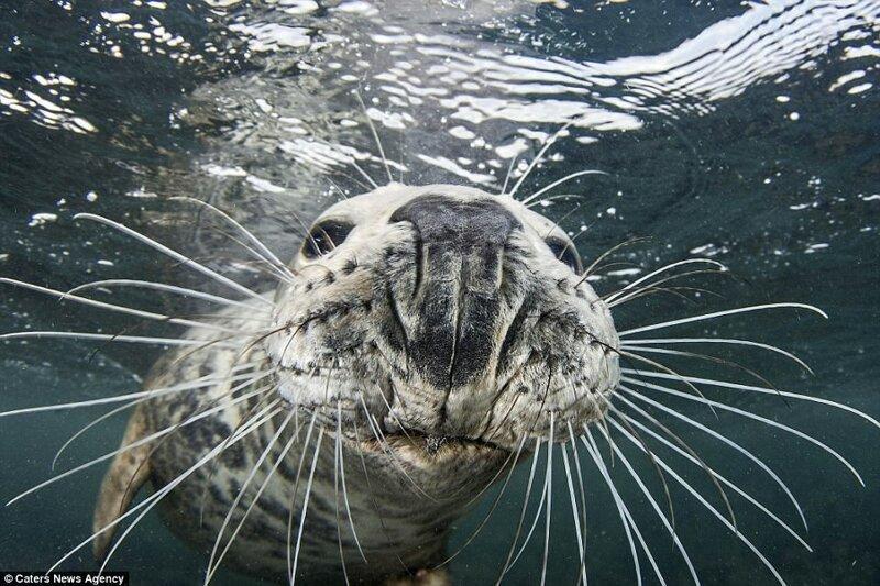 Не украду, так сфотографируюсь: тюлень сделал селфи, пытаясь отнять камеру у дайвера (9фото)