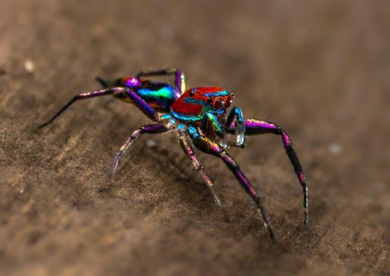 Фотографу-любителю удалось сфотографировать самого красочного в мире паука (4фото+1видео)