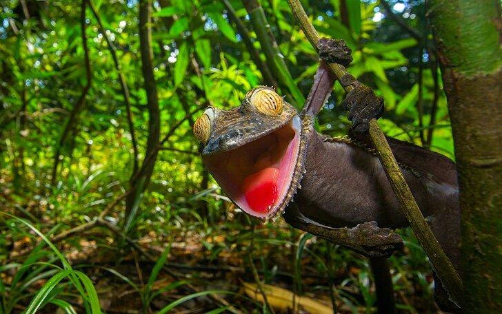 Ухмыляющийся геккон — мастер камуфляжа (10фото)