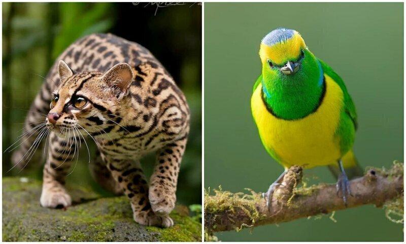 Удивительные обитатели тропических лесов Коста-Рики в объективе Суприта Саху (34фото)