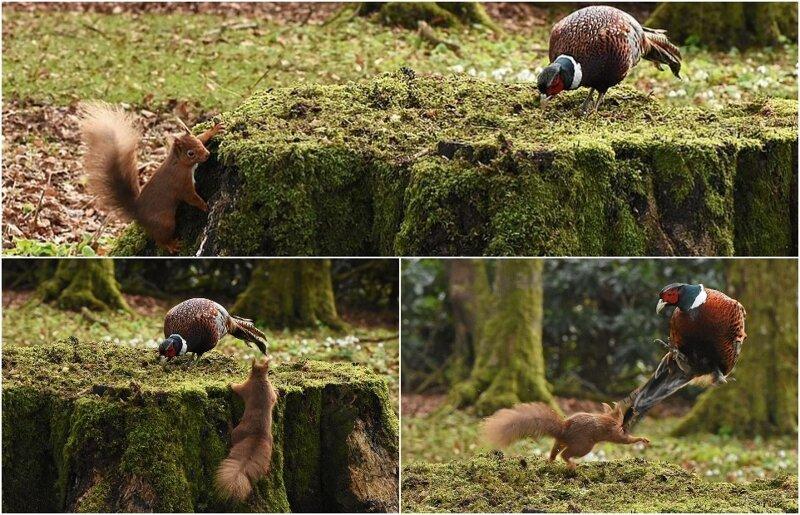 Фотограф запечатлел драматическое нападение белки на фазана из-за пня (5фото)
