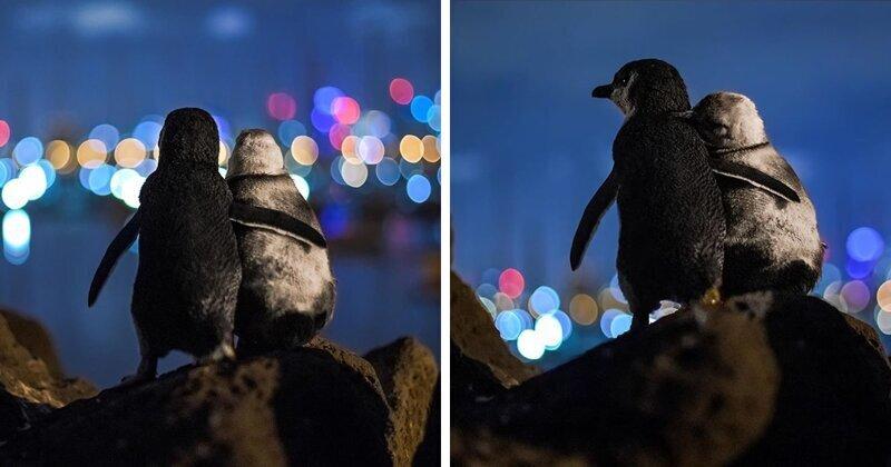 Овдовевшие пингвины на фоне вечернего Мельбурна (3фото)
